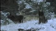 Могат ли вълците да правят музика?