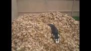 Сладко хъски обича да играе в купчина есенни листа !!!