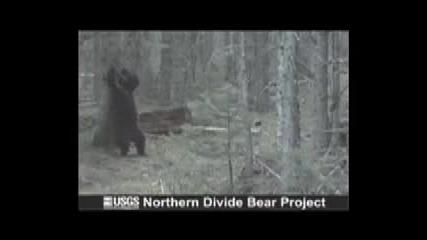Dancing - Bear