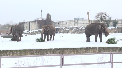 Germany: See elephants feasting on Christmas trees in the snow