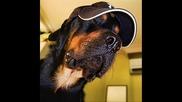 Ротвайлер, едно невероятно куче!!!