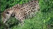 Гладен Ягуар