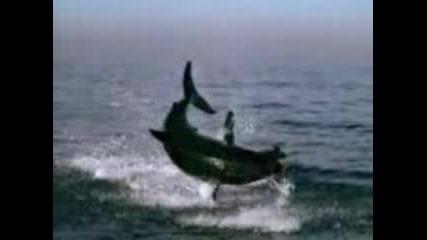 Голяма Бяла Акула Скача