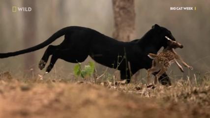NG Wild | Черната пантера