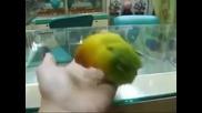 Папагал, който е гледал порно!