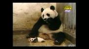 Кихане На Панда Смях