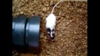 Тарантула Напада Мишка