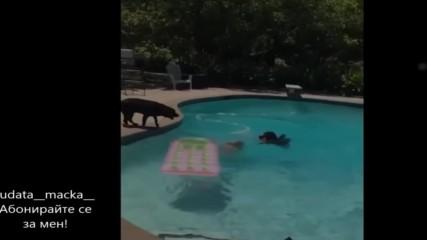 Това куче яко изненада мадамата в басейна!