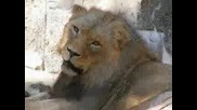 Цар Лъв - Be prepared с истински животни