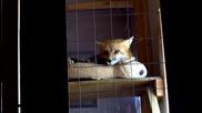 Сладка лисица се прозява преди да заспи