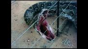 Най - голямата змия в света,  тежаща 17 тона!