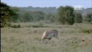 Wild Kingdom- Гепард срещу Газела