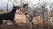 Големи ловджийски хрътки нападат доберман