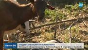 Изплащат обезщетенията за евтаназираните животни в Странджа и Крайново