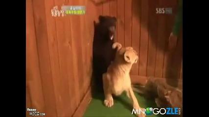 Лъвче изкара акъла на мече