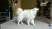 101 кучета - Самоед