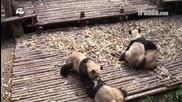 Бебета панди си спрятат масов бой
