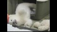Новородено бяло мече веднага си спечели любовта на посетителите в американски зоопарк