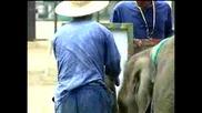 Малко слонче се учи да рисува
