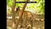 Най - Смешния Бои Между Тигър И Маимуна !!! Смях