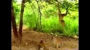 Маймунка закачливо играе с тигърчета