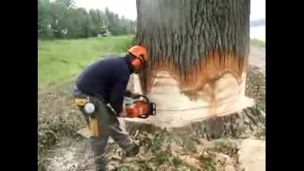 така се реже 100 - годишно дърво