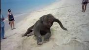 Слонче Се Въргаля На Брега