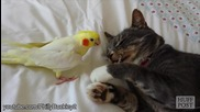 Папагалчета досаждат на котки!смях!