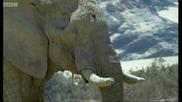 Слоновете в пустинята Намиб - Дива Африка - Би Би Си