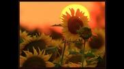 Лято...слънчогледи...