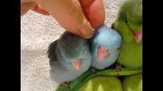 Малки сладки папагалчета!