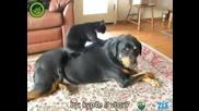 Котка масажира ротвайлер