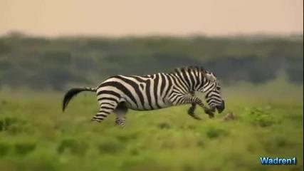 Зебра атакува леопард