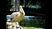 Пеликан Се Опитва Да Глътне Голяма Риба
