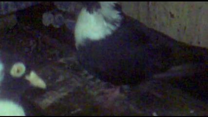 Паламарски Гълъб [ na 2 pera ]- На Топи