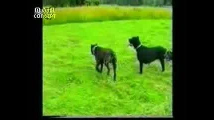 Dogo Cane Corso
