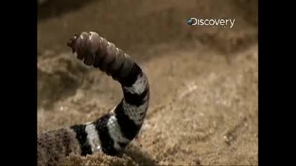 Time Warp - Гърмяща змия