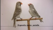 Птици - брезова Скатия