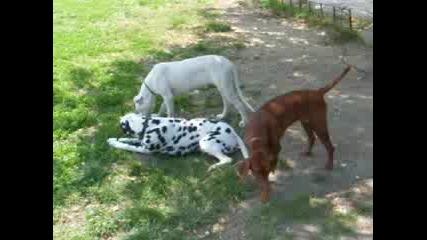 Играещи Кучета