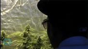 In Jamaica, Drug Law Amendments Decriminalizing Small Amounts of Marijuana Come Into Effect