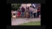 Луд овен без рога, напада наред хората