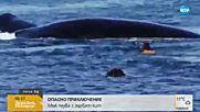 ОПАСНО ПРИКЛЮЧЕНИЕ: Мъж плува с гърбат кит