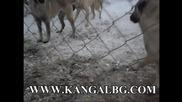 Www.kangalbg.com