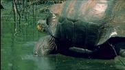 Голямата галапаговска костенурка..