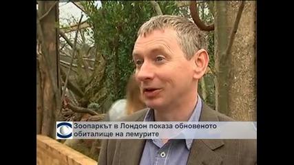 Зоопаркът в Лондон показа обновеното обиталище на лемурите