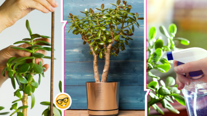 Дървото на богатството – как да го отглеждаме вкъщи