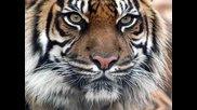 Окото на Тигъра(превод)