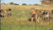 Глутница хиени срещу лъв , отмъкват му плячката !