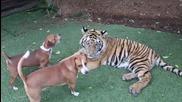 Млад тигър си играе с кучета