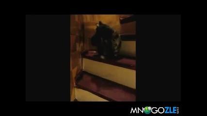 Коте танцува валс по стълбата